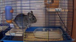 Chinchilla într-o cușcă