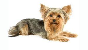 Câți ani poate trăi un terrier Yorkshire: sfaturi de îngrijire