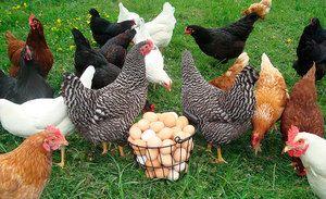 Câte găini ouă trăiesc