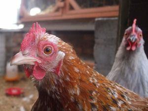 Cât timp o găină trăiește în condiții de casă