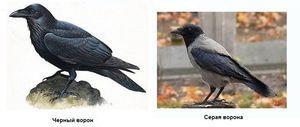 Crow și corb sunt trăsături distinctive