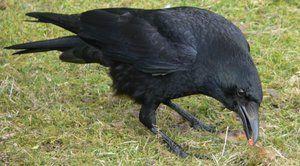 Descrierea Crow