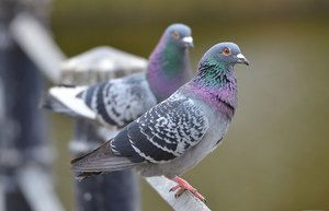 Câți ani trăiesc porumbeii în diferite condiții