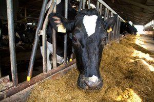 Cât de mult lapte poate da o vaci