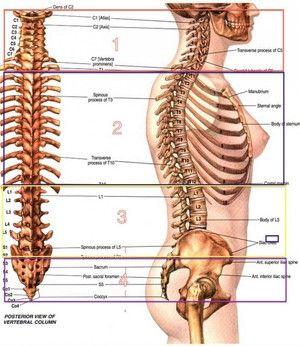 Vertebra toracică vertebrală