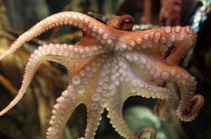 Octopus opisnie
