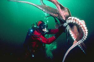 Octopus giganti si om