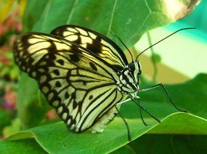 Fluture de varză