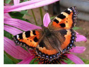 Butterfly urticarie