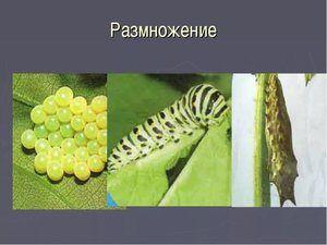 Reproducerea unui fluture