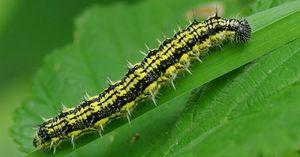 Caterpillar stup