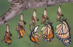 Dezvoltarea unui fluture dintr-o crizal