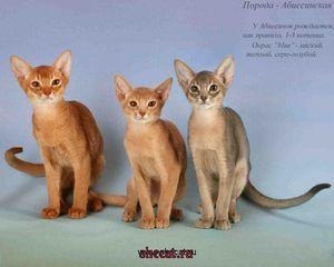 Pisici de rasă abisiniană
