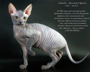Cat de rasa Don Sphinx