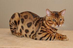 Bengal pisică