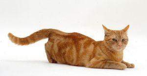 Cât durează estrul pentru pisici?