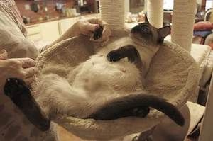 Termeni de estrus la pisici