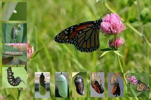 Câți fluturi trăiesc: durata de viață a tuturor ciclurilor