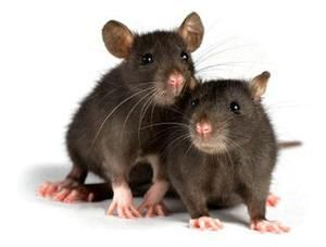 Câți șobolani trăiesc pe piața internă și în ce condiții?
