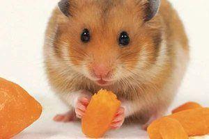 Rase de hamsteri