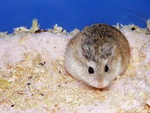 Cât durează un hamster?