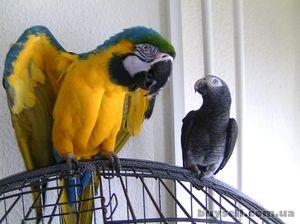 Cum să ai grijă de papagali mari