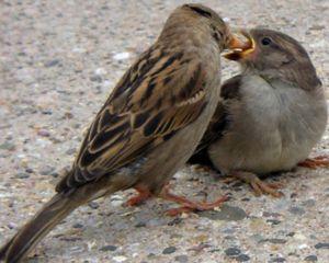 Ce hrănește vrabia