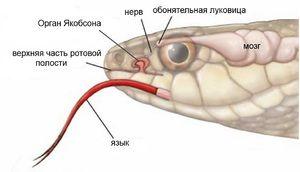 Trupul lui Jakobson în șerpi