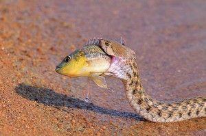 Ce șerpi mănâncă
