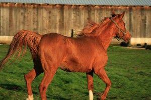 Viteza, dezvoltată de un cal: medie și maximă