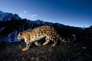 Snow leopard color