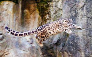 Snow Leopard caracteristici