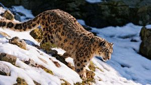 Lifestyle Snow Leopard