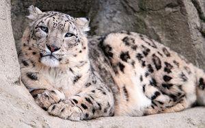 Descrierea prădătorului de leopard de zăpadă