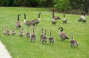 Ce poate visul gâștelor cu goslings