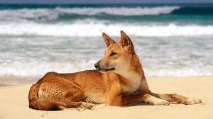 Câine Dingo pe mare