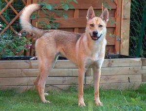 Dingo Dog - Taming