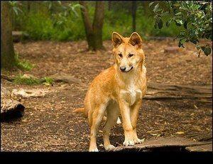 Dingo câine credincios