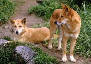 Câini sălbatici în natură