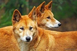 O pereche de câini dingo