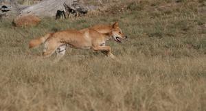 Wild Dingo Dog Hunts