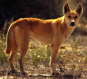 Dog aspect dingo