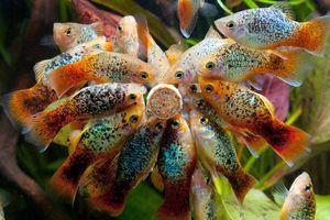 Conținutul peștilor de pe acvariu și al reproducerii acestora