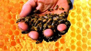 Ceea ce se compune din veninul de albine