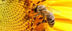 Cum să fii cu un albastru al unei albine