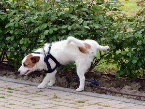 Sfaturi despre cum să obișnuiți un câine la toaletă pe stradă