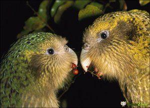 Două kakapo