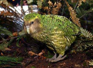 Un papagal rar fără zbor