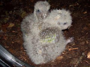 Nestlings de kakapo