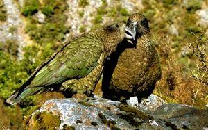 Papagali de owl din Kakapo